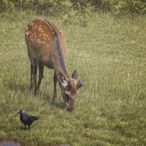 sika deer stag  and a jackdaw