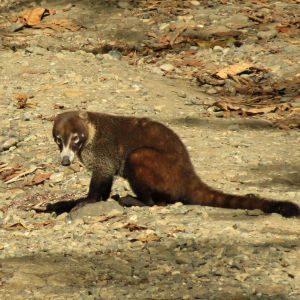 Sleepy White-nosed Coati