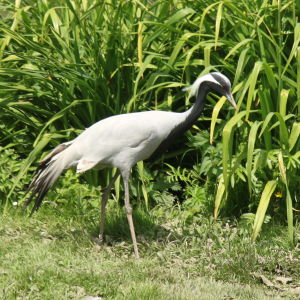 Slimbridge - demoiselle crane
