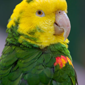 Small yellow and green parrot