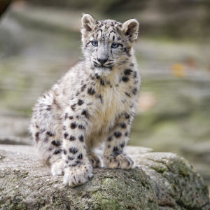 Snow leopard cub proudly posing on the stone