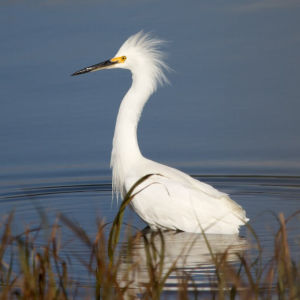 Snowy Egret | Stinson | 2012-11-20at22-40-35