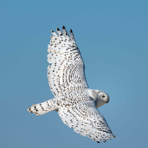 snowy owl on wing, cupsogue beach