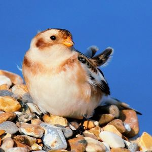 solitary snow bunting