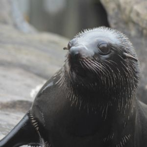 South American fur seal at Bristol Zoo Gardens