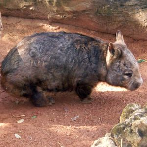 Southern Hairy-Nosed Wombat (honestly!)