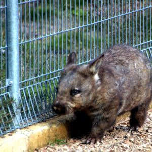Southern hairy nosed wombat pacing at Kyabram Fauna Reserve