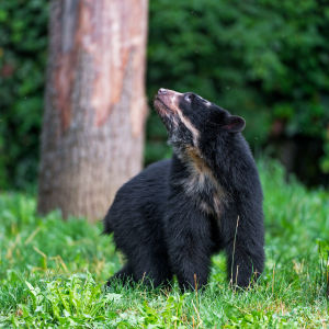 Spectacled bear among the trees