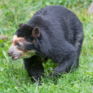 Spectacled bear walking in the grass