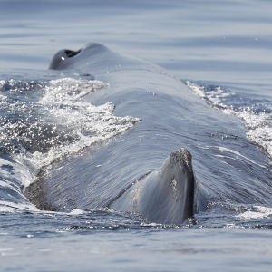 Sperm whale surfacing