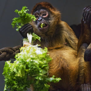 Spider monkey and salad