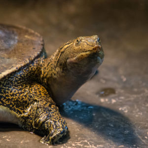 spiny softshell turtle 3 - Rocky River Nature Center