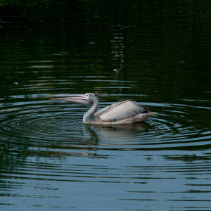 Spot Billed Pelican Rippling