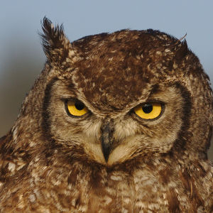 Spotted eagle owl, Bubo africanus, at Dullstroom Bird of Prey & Rehabilitation Centre (captive, tame, flown).