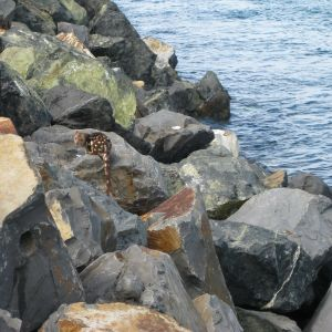 Spotted-tailed Quoll on Port Macquarie Breakwall