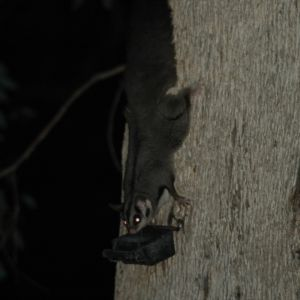 Squirrel Glider, Albury