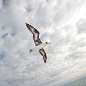 starr-150403-0079-Tournefortia_argentea-Laysan_Albatrosses_in_flight-Southeast_Eastern_Island-Midway_Atoll