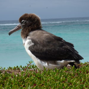starr-170620-0112-Sesuvium_portulacastrum-with_Laysan_Albatross_chick_view_ocean-South_Eastern_Island-Midway_Atoll