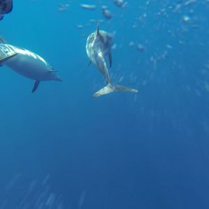 Striped dolphin_08