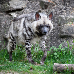Striped Hyena Walking by Rocks