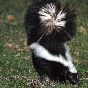 Striped Skunk (Pepe le Who)