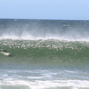 Surfing Peale's Dolphins