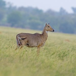 Nilgai photo