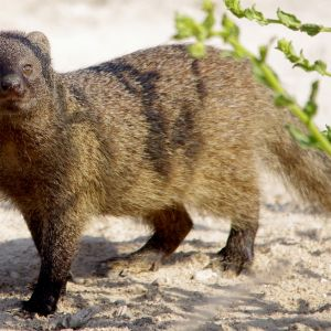 Egyptian Mongoose photo