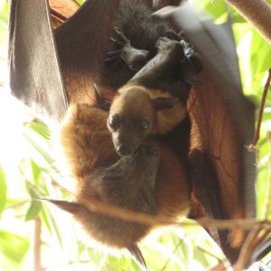Lyle's Flying Fox photo
