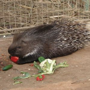Indian Porcupine photo
