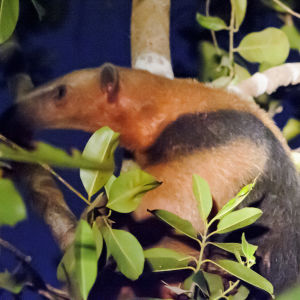 Tamandua in the tree