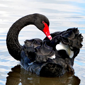 The black swan (Cygnus atratus)