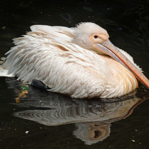 The great white pelican - Pelecanus onocrotalus (4)