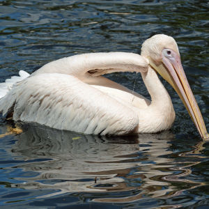The great white pelican - Pelecanus onocrotalus (6)