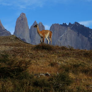 The guanaco and the Torres