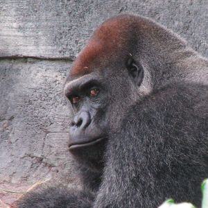The Look of a Silverback