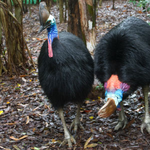 The Southern Cassowary, Casuarius casuarius, also known as Double-wattled Cassowary
