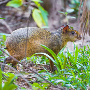 This is an agouti
