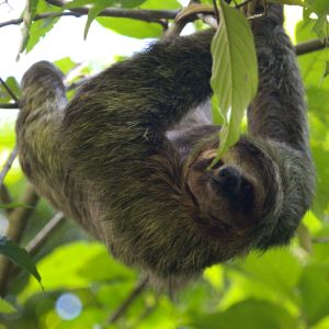 Three-toed sloth in tree