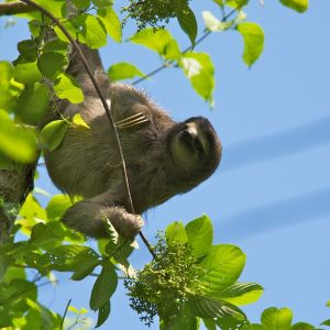Three-toed Sloth-Panama-5-27-12 2