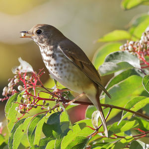 Thrush in Dogwood