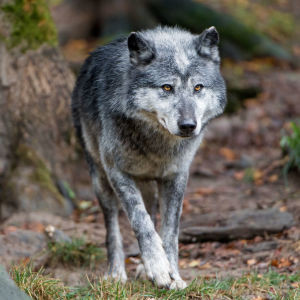Timberwolf walking
