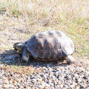 Tortoise, Laguna Atascosa National Wildlife Refuge, Texas