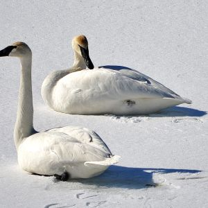 Tundra Swans on the Frozen Nottawasaga River