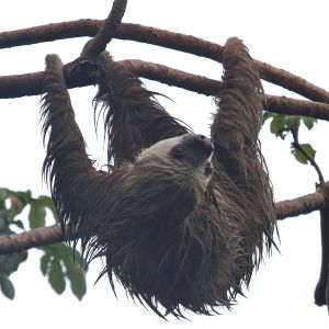 Two-toed sloth, Punta Culebra
