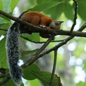 Variegated Squirrel photo