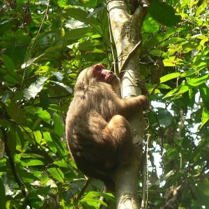Stump-Tailed Macaque photo