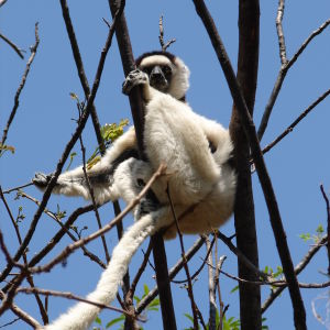 Verreaux's Sifaka , Isalo National Park
