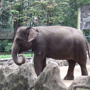 Sumatran Elephant photo