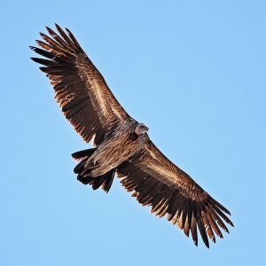 Himalayan Vulture photo